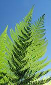 Fern leaf detail — Stock Photo