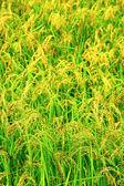 Green rice field texture wallpaper — Stock Photo