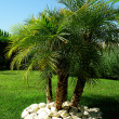 """Phoenix Robelini"" palm tree - Stock Photo"