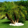 """Phoenix Robelini"" palm tree — Stock Photo"