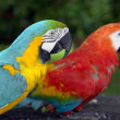 Stock Photo: Amazoniparrots