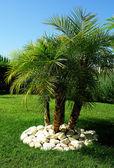 « phoenix robelini » palmier — Photo