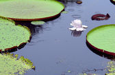 Amazon water lily — Stock Photo