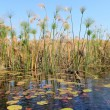 "Okavango Delta water and ""Cyperus papyrus"" plant landscape. — Stock Photo"