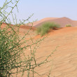 Xerophytic plant (Acanthosicyos horrida) in the sandy Namib Dese — Stock Photo