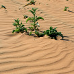 Xerophytic plant in the sandy Namib Desert. — Stock Photo