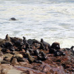 Colony of seals at Cape Cross Reserve, Atlantic Ocean coast — Stock Photo #20538861