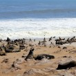 Colony of seals at Cape Cross Reserve, Atlantic Ocean coast — Stock Photo