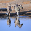 Herd of Burchell zebras drinking water in Etosha wildpark — Stock Photo