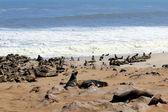 Colony of seals at Cape Cross Reserve, Atlantic Ocean coast — Stock Photo