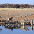 Herd of Burchell zebras drinking water in Etoshwildpark — Stock Photo #20540999