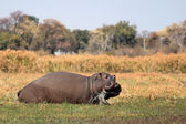Wild hippopotamus in waterhole, Mahango game park — Stock Photo