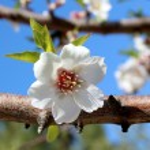 Blossom on sweet almond tree (Species: Prunus amygdalus, syn. Pr — Stock Photo #22099475