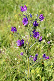 Echium plantagineum, commonly known as Purple Viper's Bugloss or Paterson's Curse — Stock Photo