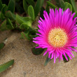 Carpobrotus edulis, succulent plant, creeping, native to C — Stock Photo #23128234