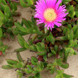 Carpobrotus edulis, a succulent plant, creeping, native to the C — Stock Photo