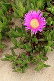 Carpobrotus edulis, a succulent plant, creeping, native to the C — Stock Photo
