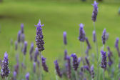 Lavandula dentata is a species of lavender, one of several speci — Stock Photo