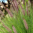 Pennisetum setaceum, a perennial bunch grass — Stock Photo