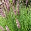 Stock Photo: Pennisetum setaceum, perennial bunch grass