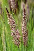 Pennisetum setaceum, a perennial bunch grass — Stock Photo