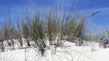 Ammophila arenaria, a species of grasss native to the coastlines of Europe and North Africa where it grows in the sands of beach dunes — Stock Video