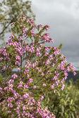 Erica australis in Ria Formosa natural park Algarve. — Stock Photo