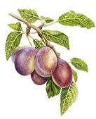 Plums branch botanical watercolor — Stock Photo