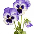 Watercolor with Pansies — Stock Photo #47369127