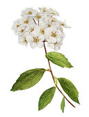 Spirea bush watercolor — Stock Photo