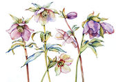 Watercolor with  hellebore — Stock Photo