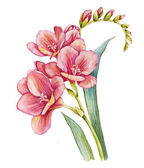 Watercolor with freesia — Stock Photo