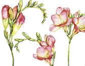 Watercolor with freesia — ストック写真
