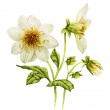 White Dahlia watercolor — Stock Photo #48096455