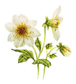 White Dahlia watercolor — Stock Photo