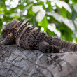 Stock Photo: Sleeping Reptile