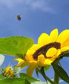 Bumblebee & Sunflower — Stockfoto