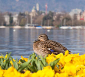 Lake Zurich, early spring — Stock Photo