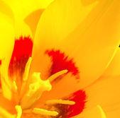 żółty tulipan z bliska — Zdjęcie stockowe