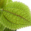 Stock fotografie: Plant with green leaves texture