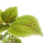roślina z zielonych liści tekstura — Zdjęcie stockowe