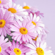 Pink daisy flowers — Stock Photo