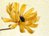 Yellow dry flower — Stock Photo