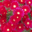 Bright red flowers — Stock Photo