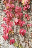 Красные листья — Стоковое фото