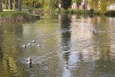 鸭子在水中 — 图库照片