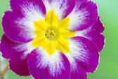Violet Primula Flowers — Stock Photo