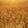 Field of wheat corns — Stock Photo #16783201