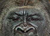 Retrato del gorila — Foto de Stock