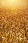 小麦のトウモロコシのフィールド — ストック写真